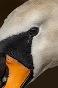 White Mute Swan Posters - Mute Swan Close Up Poster by Andy Astbury
