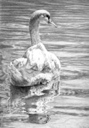 Waterfowl Drawings Framed Prints - Mute Swan Framed Print by Craig Carlson