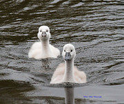 Ed Nicholles Acrylic Prints - Mute Swan Cygnets Acrylic Print by Ed Nicholles