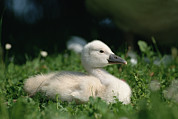 Baby Bird Prints - Mute Swan Cygnus Olor Chick, Germany Print by Konrad Wothe