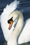 White Mute Swan Posters - Mute Swan Cygnus Olor Close-up Poster by Konrad Wothe