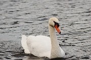 Portriat Photos - Mute swan by David Campione