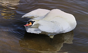 Swan Lake Posters - Mute Swan Grooming In Shallow Water Poster by Roy Williams