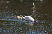 Belgium Photos - Mute Swan with Three Cygnets Following by Louise Heusinkveld