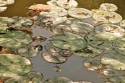 All - Muted Lilypads by Kimberly Gonzales
