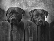 Labrador Retriever Metal Prints - Mutt and Jeff Metal Print by Larry Marshall