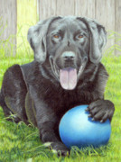 Labrador Retrievers Drawings - My Big Blue Ball by Beverly Fuqua