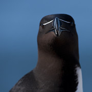 Razorbill Photos - My Blade is razor sharp.. by Nina Stavlund