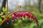 Floral Photos - My Bleeding Heart  by Neal  Eslinger