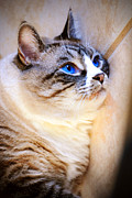 Blue Prints - My Blue Eyed Cat Print by Robert Smith