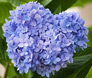 Hydrangea Photos - My Blue Heart by Melanie Moraga