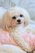 Maltese Dog Posters - My Brown Eyed Girl Poster by Lisa  DiFruscio