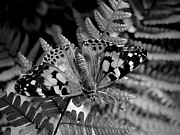 Butterfly On Fern Photo Framed Prints - My Butterfly Friend Monochrome Framed Print by Beth Akerman