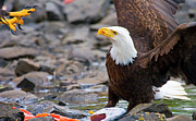 Eagle Metal Prints - My Dinner Metal Print by Mike  Dawson