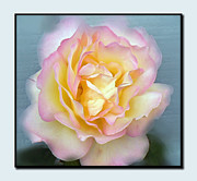 Blooming Bushes Prints - My Favorite Rose Print by Pamela Patch