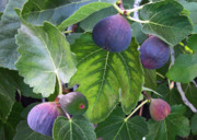 Grocer Prints - My Fig Tree Print by Charlette Miller