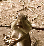 Chipmunk Photograph Posters - My Friend Mumpy  Poster by Cliff Spohn