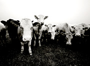 Cows Photos - My friends by Laura Melis