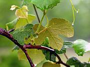 Concord Grapes Metal Prints - My Grapvine Metal Print by Robert Meanor