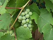 Grapes Green Prints - My Green Grapes Print by Carol Sweetwood