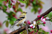 American Goldfinch Posters - My House is Pretty Poster by Betty LaRue