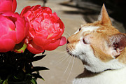My Back Yard Prints - My Kitty in Love with a Peony Print by Mariola Bitner