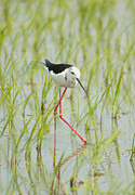 Black Winged Stilt Framed Prints - My Legs So Long Framed Print by Damon Bay