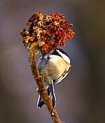 Nature Artwork Posters - My little chickadee Poster by Robert Pearson