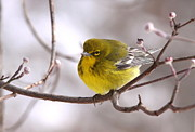 Travis Truelove Photography Posters - My Little Yellow Friend - Pine Warbler Poster by Travis Truelove
