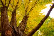 Stock Images Prints - My Maple Tree Print by James Bo Insogna