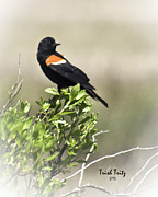 Red-winged Blackbird Framed Prints - My Morning Friend Framed Print by Trish Tritz