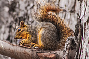 Eastern Fox Squirrel Metal Prints - My Nut Metal Print by Robert Bales