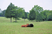 Livestock Art - My Own True Love by Jan Amiss Photography