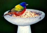 Baby Birds Posters - My Painted Bunting Poster by Karen Wiles