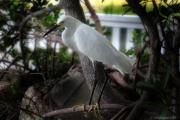 Snowy Egret Framed Prints - My Pal Snowy Framed Print by Joseph G Holland