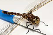 Dragon Fly Photo Prints - My pen 02 Print by Kevin Chippindall
