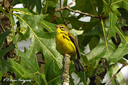 Warbler Originals - My pretty yellow belly by Barbara Bowen