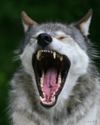 Wolves Photos - My What Big Teeth You Have Grandma by Gerry Sibell