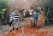 African Pyrography Prints - My Zebras in Africa Print by Phyllis Kaltenbach
