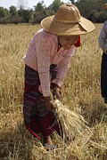 Manual Framed Prints - Myanmar Wheat Harvest Framed Print by Photostock-israel