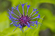 Centaurea Montana Framed Prints - Mystery Wildflower 3 Framed Print by Sean Griffin