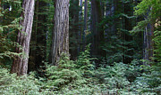 Jedediah Smith State Park Framed Prints - Mystic Redwoods 5 Framed Print by  Suze Taylor
