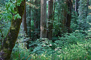 Jedediah Smith State Park Framed Prints - Mystic Redwoods1 Framed Print by Suze Taylor