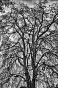 Val Black Russian Tourchin - Naked Tree on Capitol Hill