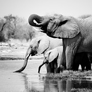 Travel Prints - Namibia Elephants Print by Nina Papiorek