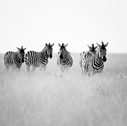 Namibia Zebras II Print by Nina Papiorek