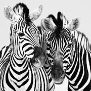 National Photo Framed Prints - Namibia Zebras IV Framed Print by Nina Papiorek