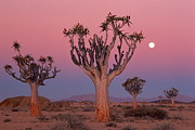 Quiver Posters - Namibia,namib Desert,quiver Trees At Dusk Under Moon Poster by Theo Allofs