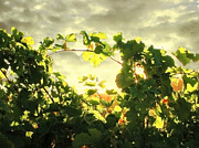 Grape Vines Prints - Napa Dusk Print by Ellen Cotton