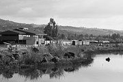 White And Black Landscapes Posters - Napa River in Napa California Wine Country . Black and White Poster by Wingsdomain Art and Photography